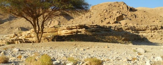 A lone tree in the desert of Sinai.