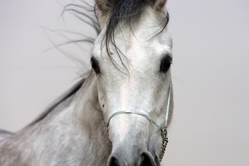 Arabian Horse by jagenau, on Flickr